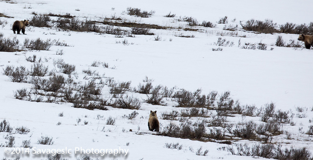 Three grizzlies in the Hayden Valley of Yellowstone. (Sow with two older cubs)