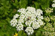 Insect on Cow Parsnip flower head