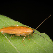 A forest cockroach. Cockroaches are insects of the order Blattodea, sometimes called Blattaria.