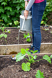 Watering courgettes using a sunken pipe to ensure water reaches the roots