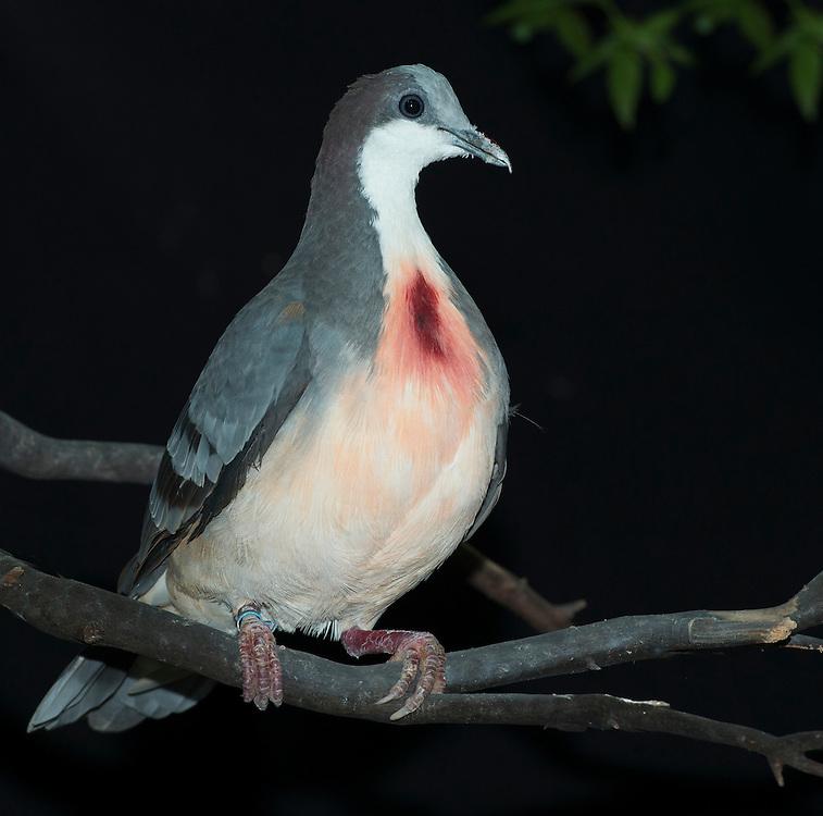Luzon Bleeding Heart Dove, (Gallicolumba luzonica), captive,credit: Pandemonium Aviaries/M.D.Kern