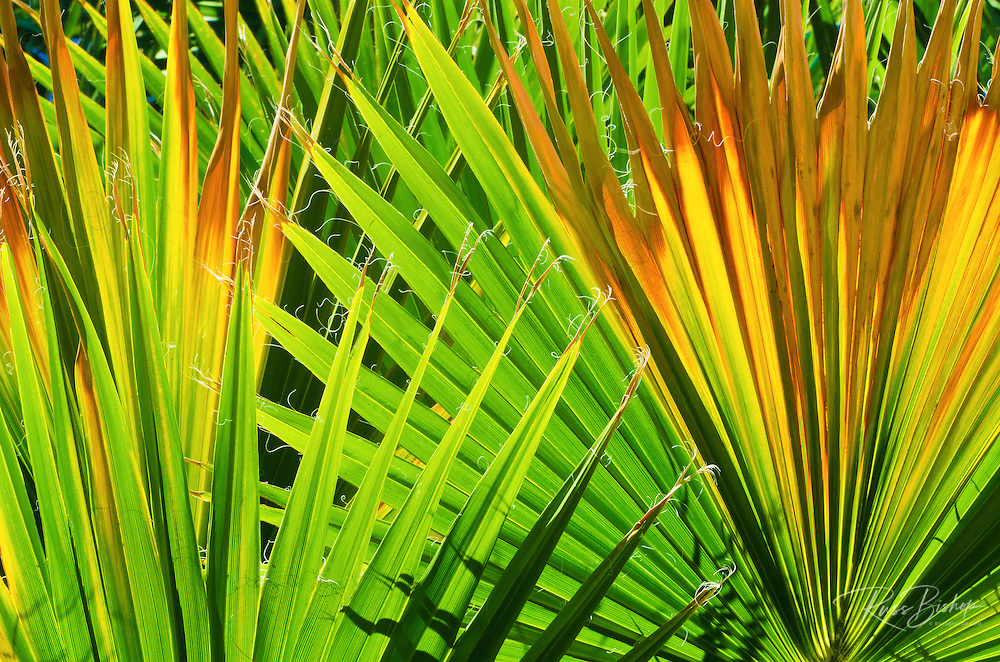 Backlight on California fan palms, Anza-Borrego Desert State Park, California USA