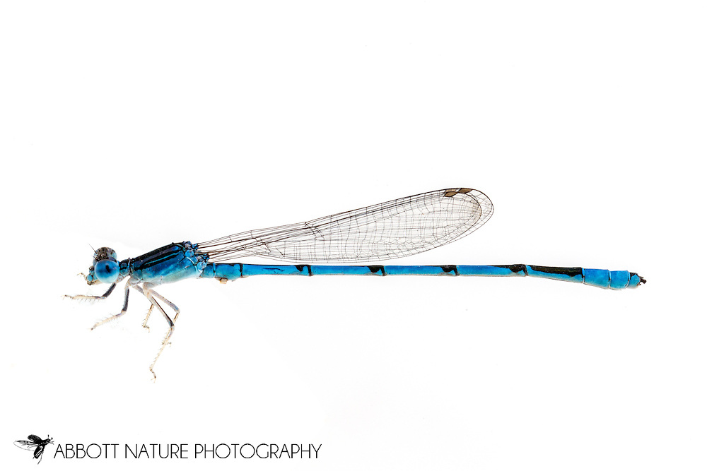 Double-striped Bluet (Enallagma basidens) male<br /> TEXAS: Travis Co.<br /> Horsby Bend; Austin<br /> 11-May-2016<br /> J.C. Abbott #2812