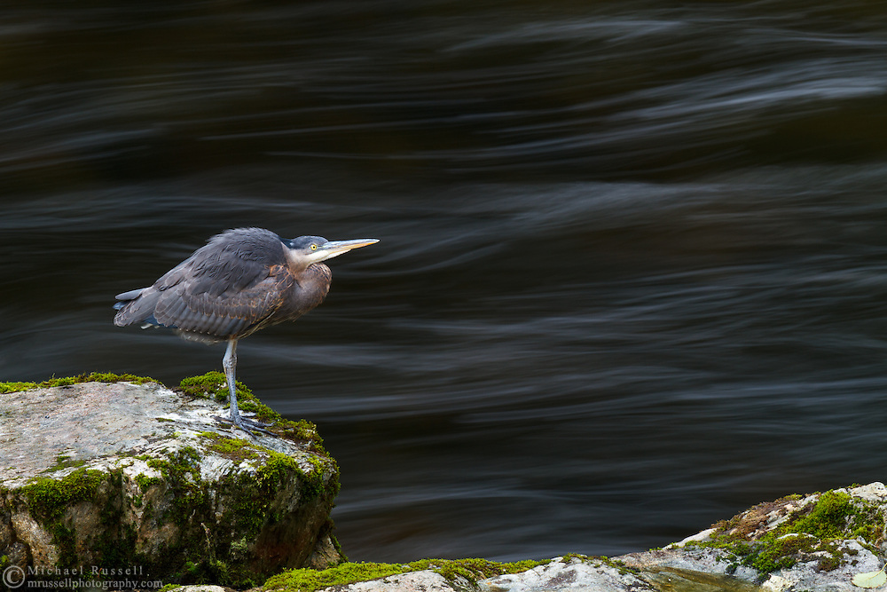 A Great Blue Heron (Ardea herodias) hunts along the shores of the Capilano River in North Vancouver, British Columbia
