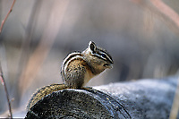 Least Chipmunk (Tamias minimus),  Banff National Park, Banff National Park, Alberta, Canada - Photo: Peter Llewellyn