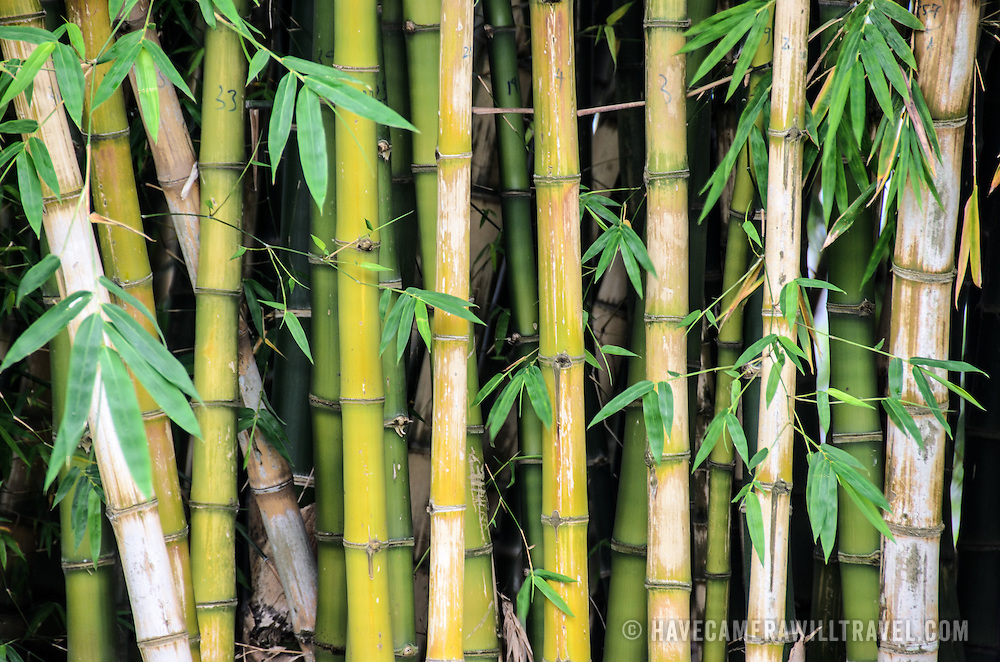 Bamboo stalks in Vietnam.