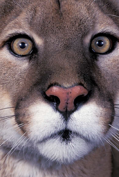 Mountain Lion or Cougar, (Felis concolor) Close up portrait.  Captive Animal.