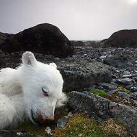 Norway, Svalbard, Nordaustlandet, Polar bear (Ursus maritimus) cub lies dead in on barren landscape on Lagøya Island