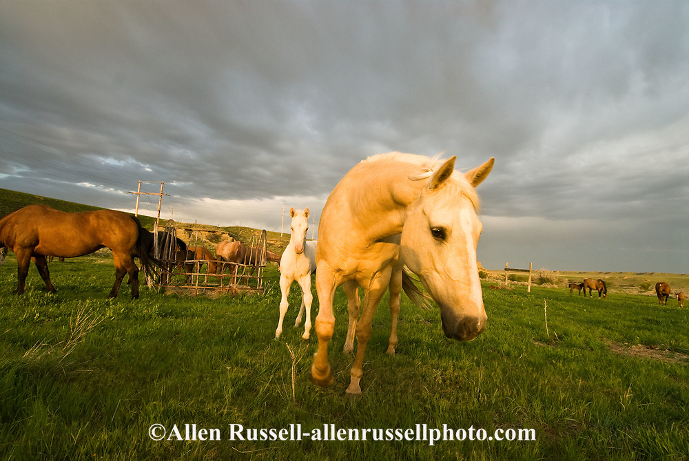 Quarter Horses, Palamino mare and Cremello foal