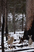 A white-tailed buck and doe during mating season in fall. Yaak Valley in the Purcell Mountains, northwest Montana.
