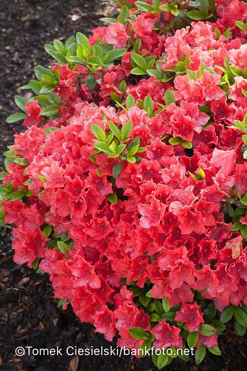 Rhododendron `Satschiko`