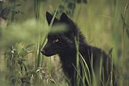 A black colored red fox baby (Vulpus vulpus) on the hunt. Yukon Territory, Canada