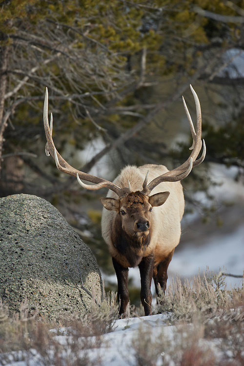 Bull elk on winter range in Wyoming