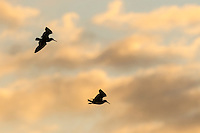 African Black Oystercatcher pair in flight, De Hoop Natue Reserve, Western Cape, SOuth Africa