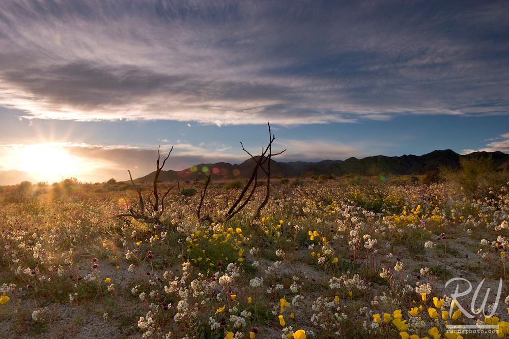 Spring Wildflowers, Joshua Tree National Park, California