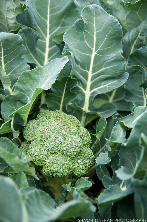 Broccoli head with leaves in the garden.