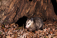 Virginia opossum  or North American Oppossum (Didelphis virginiana)<br /> United States: Alabama: Tuscaloosa Co.<br /> Tulip Tree Springs off Echola Rd.; Elrod<br /> 16-Jan-2017<br /> J.C. Abbott &amp; K.K. Abbott<br /> captured with trap camera