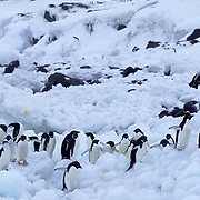 Adelie Penguin, (Pygoscelis adeliae) On Saunders Island. South Sandwich Islands. Antarctica.