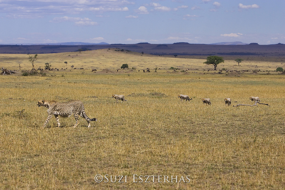 Cheetah<br /> Acinonyx jubatus<br /> Mother and 6-8 week old cubs walking across plains<br /> Maasai Mara Reserve, Kenya