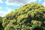 Sweet chestnut Castanea sativa tree in flower close up, Royal Botanic Gardens, Kew, London, England, UK