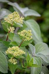 Hydrangea paniculata 'Little Lime' syn. 'Jane'