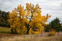 Plains cottonwood tree along French Creek during the autumn season at Custer State Park, South Dakota.