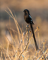 Magpie shrike, Satara, Kruger National Park, South Africa