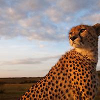 Africa, Kenya, Masai Mara Game Reserve,  Cheetah (Acinonyx jubatas) resting in morning sun