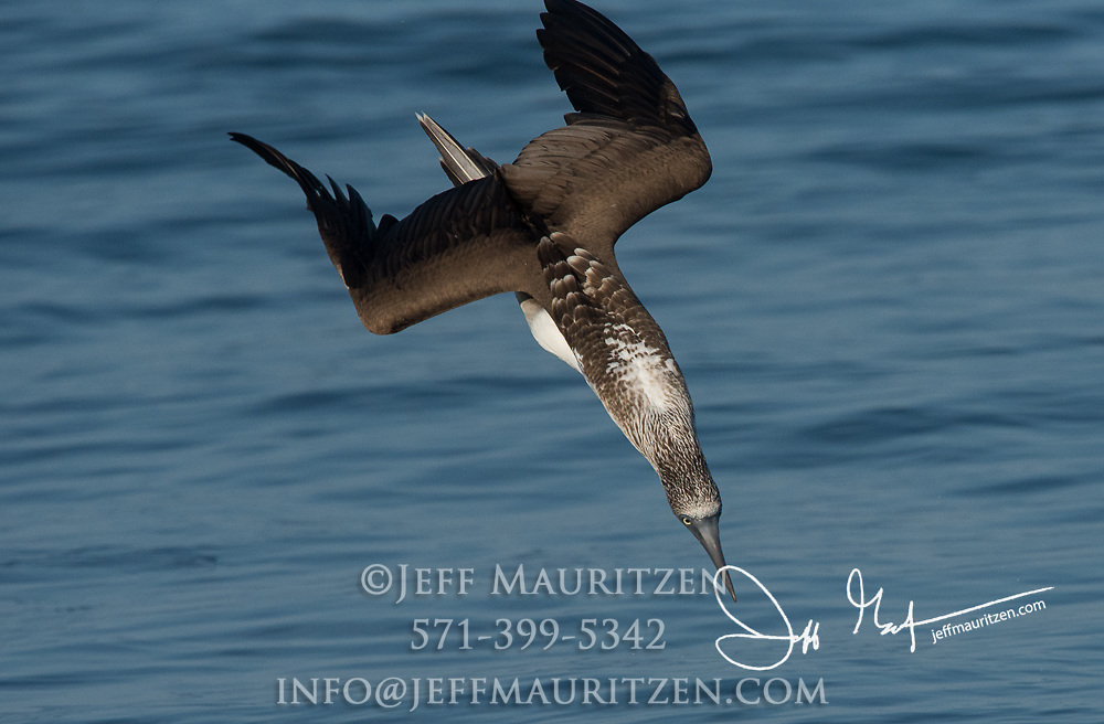 A Blue-footed pluge dives into the Pacific Ocean near Santiago island in the Galapagos.