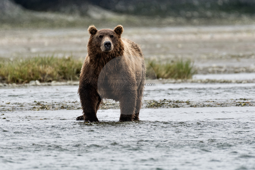 A large grizzly bear boar hunts for chum salmon in the lower lagoon at the McNeil River State Game Sanctuary on the Kenai Peninsula, Alaska. The remote site is accessed only with a special permit and is the world's largest seasonal population of brown bears.