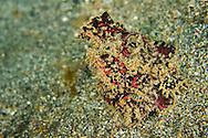 Alberto Carrera, Frogish, Freckled Anglerfish, Antennarius coccineus, Lembeh, North Sulawesi, Indonesia, Asia