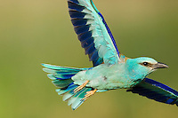 European Roller (Coracias garrulus) in flight, Blauracke fliegend, near Nikopol, Bulgaria