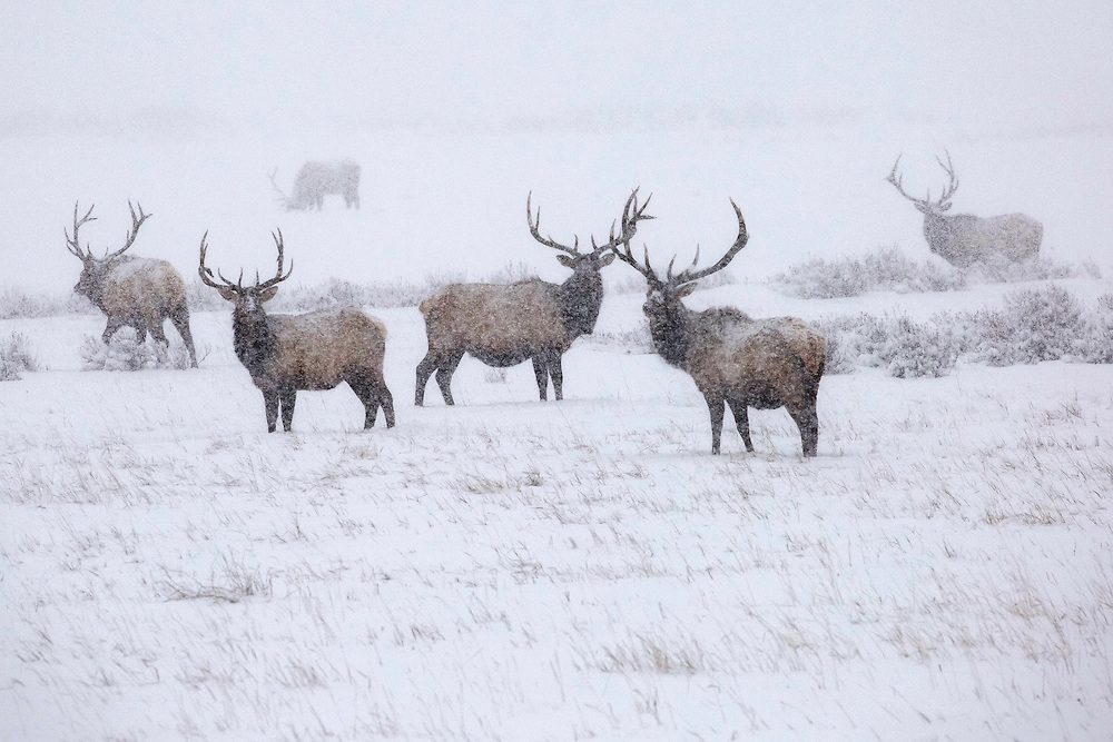 More than 7,000 elk winter at the National Elk Refuge in Jackson Hole, Wyoming. This refuge was established in 1912 to provide winter habitat and preserve the Jackson elk herd, including this group of bulls weathering a fast-moving blizzard.
