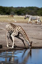 NAMIBIA ETOSHA 30APR14 - Angolan giraffe drinks at a waterhole  near Namutoni, Etosha National Park, Namibia.<br /> <br /> <br /> <br /> jre/Photo by Jiri Rezac<br /> <br /> <br /> <br /> © Jiri Rezac 2014