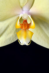 THEMENBILD - Die Orchideen oder Orchideengewächse (Orchidaceae) sind eine weltweit verbreitete Pflanzenfamilie. Die zwei hodenförmigen Wurzelknollen der Knabenkräuter (griech. orchis 'Hoden') haben der gesamten Pflanzenfamilie ihren Namen gegeben. Etwa 1000 Gattungen mit 15.000 bis 30.000 Arten werden von den Botanikern anerkannt im Bild Orchidee (Phalaenopsis), Blüte, Nahaufnahme aufgenommen am 06.09.2013 // THEMES PICTURE - The orchids or orchid family (Orchidaceae) are a cosmopolitan family of plants. The two testicles shaped root tubers of orchids (Greek orchis, testicle ') have given the entire plant family its name. About 1,000 genera with 15,000 to 30,000 species are recognized by botanists pictured on 6th of September 2013. EXPA Pictures © 2013, PhotoCredit: EXPA/ Eibner/ Michael Weber<br /> <br /> ***** ATTENTION - OUT OF GER *****