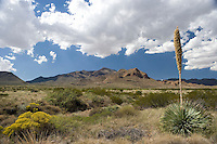 Sotol, (Dasylirion leiophyllum, at Mount Franklin State Park, El Paso, TX