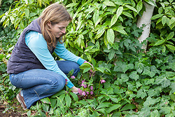 Cutting back hellebore leaves to reveal fresh new flowers