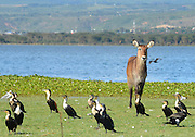 Kenya, lake naivasha, female Waterbuck (Kobus ellipsiprymnus) and White breasted Cormorants (Phalacrocorax lucidus)