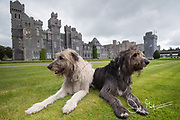 Two Irish Wolfhounds rest on the grounds of Ashford Castle, a 13th century castle turned into a 5 star luxury hotel located in Cong, Ireland.