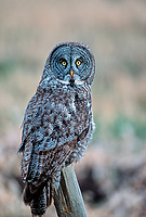 Great Gray Owl (Strix nebuloso),  sitting on fence post, near Calgary, Alberta, Canada   Photo: Peter Llewellyn