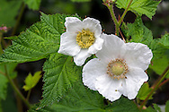 Thimbleberry (Rubus parviflorus) flowers in the Fraser Valley of British Columbia, Canada