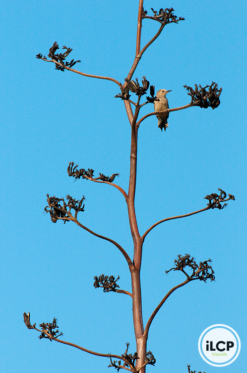 Gila woodpecker (Melanerpes uropygialis).