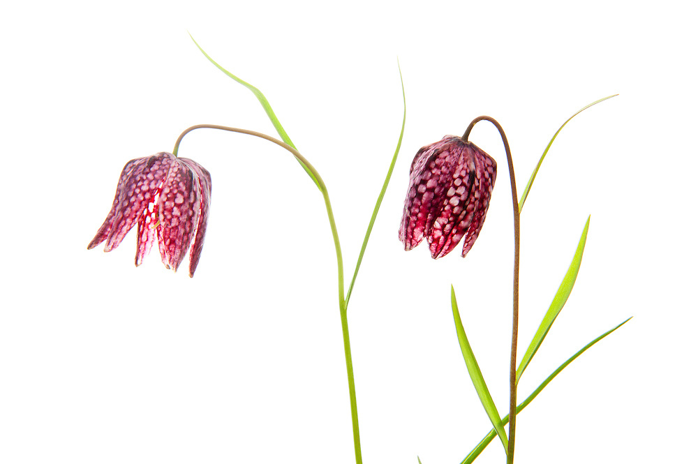 Fritillary, in collection