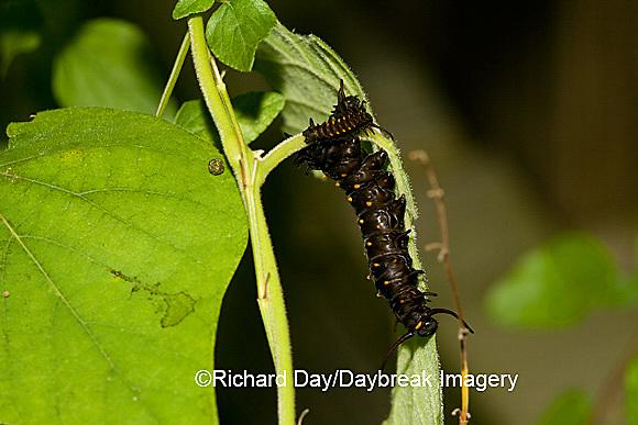 03004-007.02 Pipevine Swallowtail (Battus philenor) caterpillars on Dutchman's Pipevine (Aristolochia marophylla) Marion Co.  IL