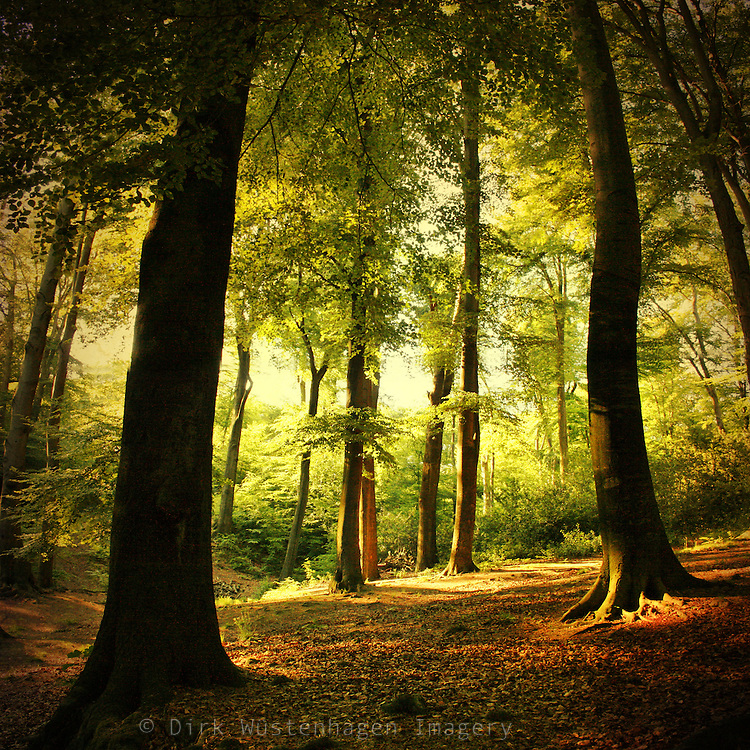 Beech tree forest in eving sun light