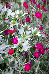 Lychnis coronaria with Eryngium giganteum in the Oast garden