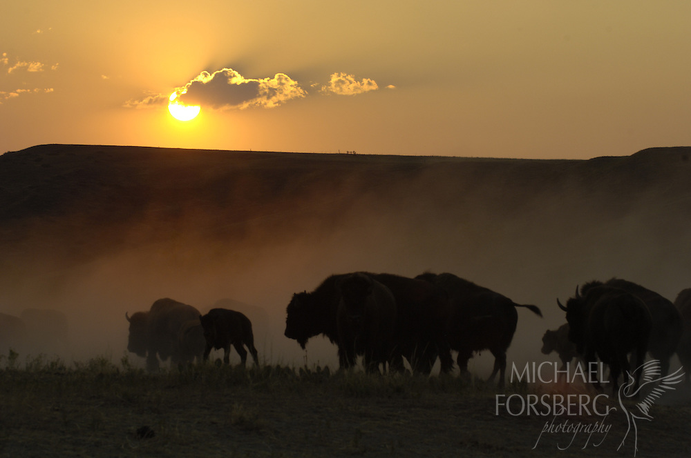 Buffalo Gap National Grassland, South Dakota..Bison on the move in cloud of dust in Cheyenne River valley at sunset...