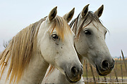 The Camargue white horse is an ancient breed of horse that is always whiteish.