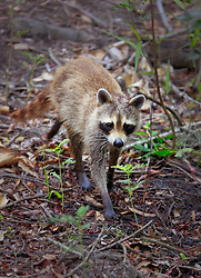 02 June 2014. Jean Lafitte National Historic Park, Louisiana.<br /> A raccoon in the swamp at the Barataria Preserve wetlands south or New Orleans.<br /> Charlie Varley/varleypix.com
