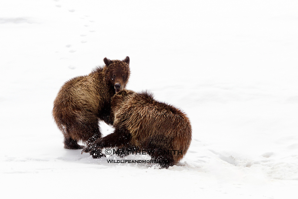 Grizzly Bears playing in the snow at Grand Teton National Park Wyoming